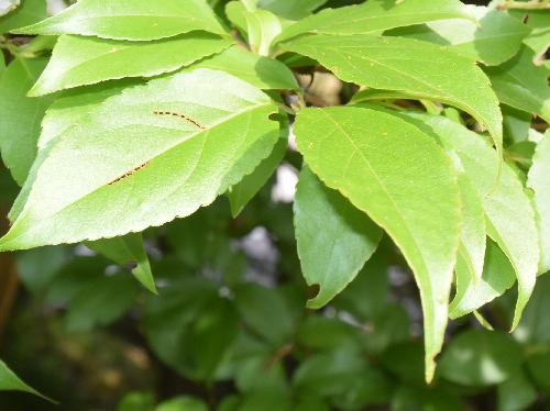 ヒメシャラ 互生 卵形で浅い鋸歯