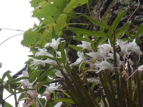 セッコク 葉は細長く互生