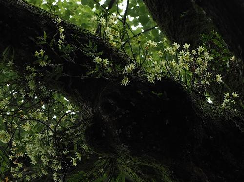 キバナノセッコク 黄花石斛