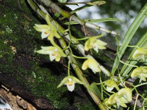 キバナノセッコク 房状に6個程度まで花をつける