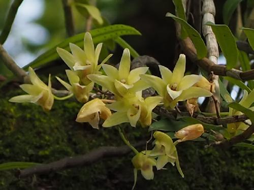 キバナノセッコク 初夏に黄緑色の花