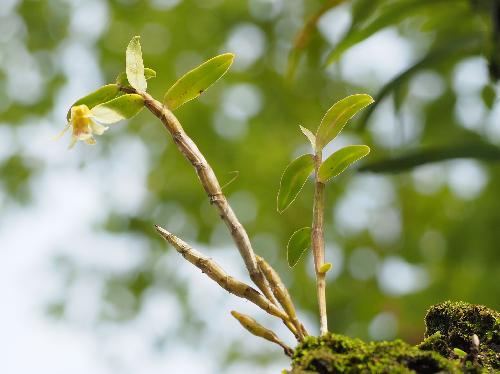 キバナノセッコク 葉は楕円形で互生