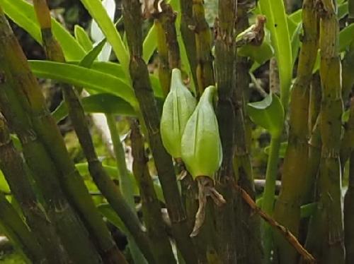 セッコク 初冬に黄熟する涙型の実