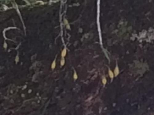 キバナノセッコク 冬に黄熟する涙型の実