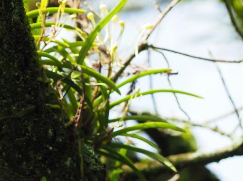 フウラン 葉は細長く互生
