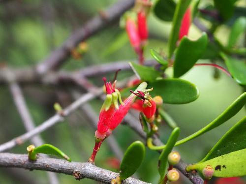 マツグミ 夏に小さな赤い花