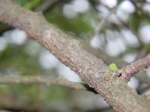 マツグミ 黒褐色でざらざらした樹皮