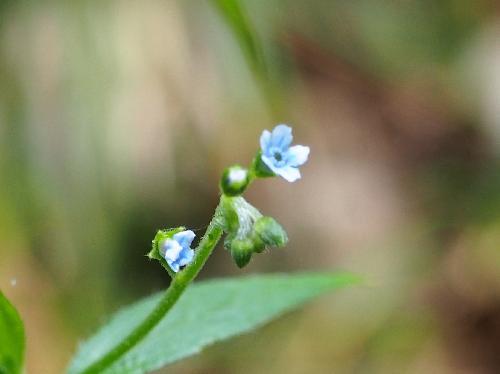 オオルリソウ 夏に小さな青い花