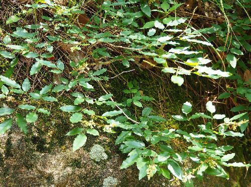 キハギ 木萩