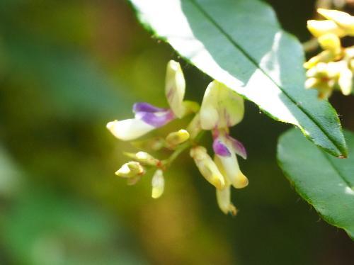 キハギ 夏から初秋に小さな白紫色の花
