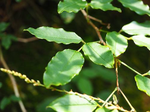 キハギ 3出複葉 互生 小葉は全縁の卵形