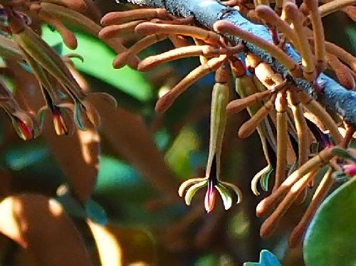 オオバヤドリギ 秋から冬にかけて赤褐色の細長い花