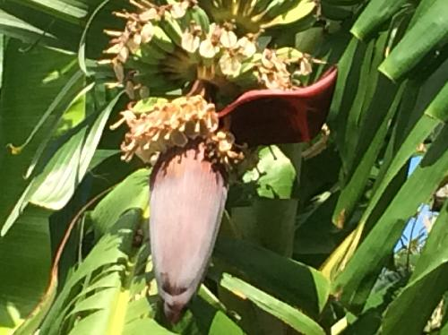 バナナ 夏-秋 紫の苞