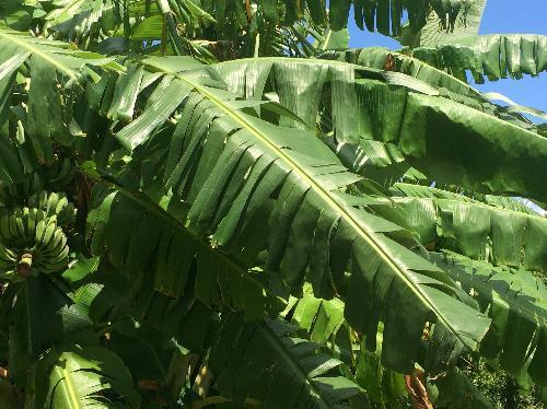 バナナ 大きな長楕円形の葉 切れ目が入る