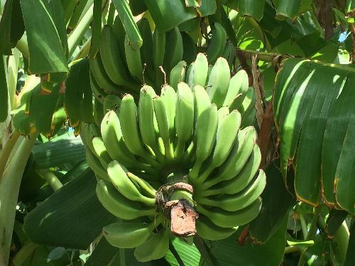 バナナ 細長く、グローブ状の形に数本まとまって左右前後に交互に数段つける