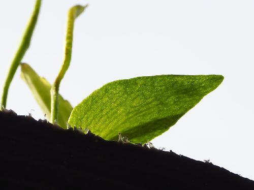 コハナヤスリ 葉は薄く脈が透けて見える