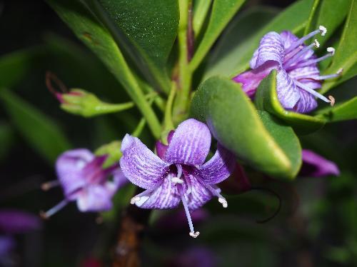 ハマジンチョウ 晩冬 紫色に白い筋 小さい花