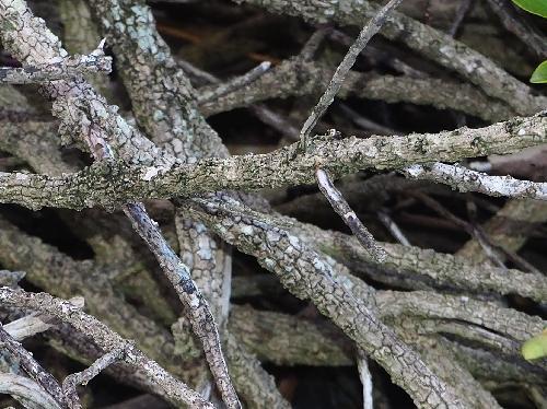 ハマジンチョウ ごつごつした灰色の樹皮