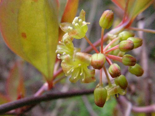 春 黄緑色 雄花 球状