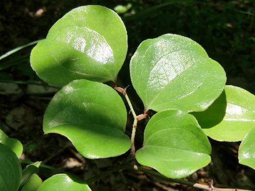 サルトリイバラ 円形の葉 互生 全縁