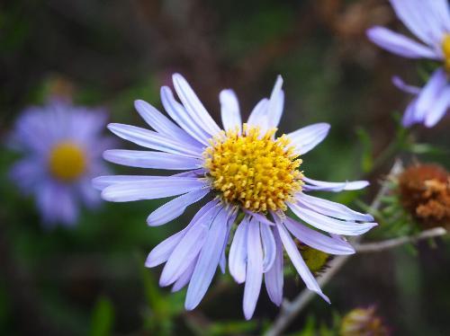 ハマベノギク 秋~初冬 白紫色の花
