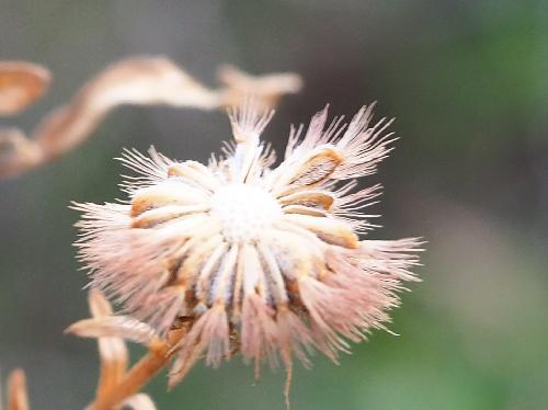 ハマベノギク 秋~冬に茶色 3mm前後の冠毛