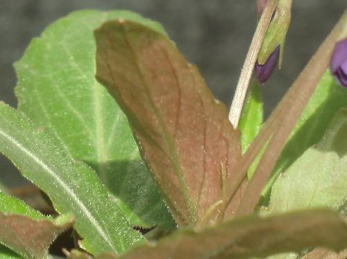 オオミヤスミレ 微毛があり葉裏は紫色を帯びる