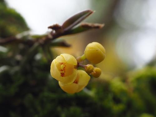 カヤラン 春に小さな黄色い花
