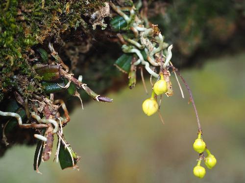 カヤラン 茎の途中から新しい根が出る