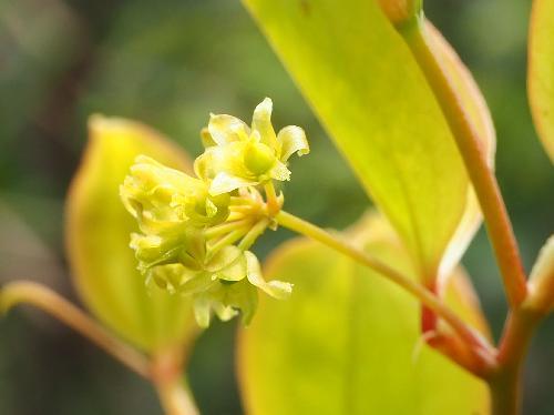 サルトリイバラ 春 黄緑色 雌花 球状