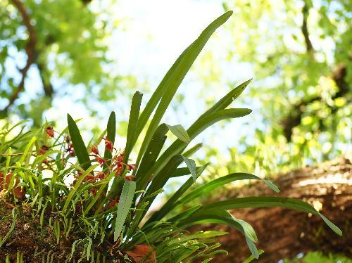 キンリョウヘン 細長い葉