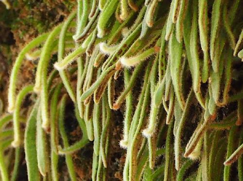 ビロードシダ 垂れ下がった細長い葉