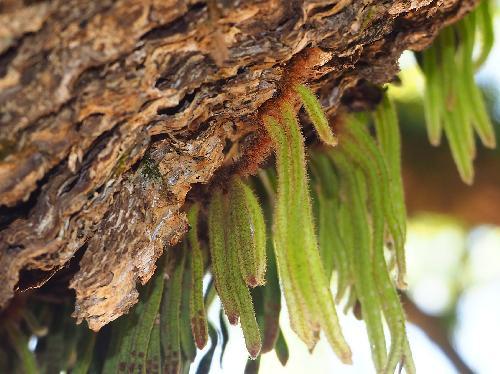 ビロードシダ 赤褐色の根茎で広がる