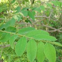 はなQ 葉っぱ検索 羽状複葉のはっぱを写真で探す樹木の図鑑